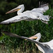 Dalmatian pelicans, (Pelecanus crispus, Pelican creț)