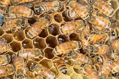 Bees (Syd3r) Tags: bees bee honeybee beekeeping