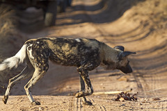 Adult African Wild Dog crossing the track - Kruger National Park, Mpumalanga, South Africa (Petitecornichon) Tags: africa park wild dog southafrica wolf african painted south hunting reserve national cape spotted endangered ornate veld rsa krugernationalpark mpumalanga kruger africanwilddog wilddog 2014 lycaon lycaonpictus bushveld africanpainteddog africanhuntingdog pictus subsahara capehuntingdog subsaharan republicofsouthafrica spotteddog paintedhuntingdog paintedwolf ornatewolf
