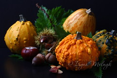 Autumn mini pumpkins with green leafs over black (Iryna Melnyk) Tags: thanksgiving old autumn food orange holiday plant black color fall halloween beautiful yellow dinner vintage season pumpkin one design miniature wooden leaf healthy corn day natural eating vibrant background grunge small seasonal rich walnuts harvest grow vegetable fresh seeds squash vegetarian sunflower chestnut organic concept diet agriculture ornamental plank ingredient