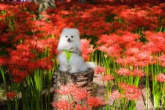 @巾着田 (mayor_of_clutch0625) Tags: red dog flower cute japan 日本 saitama 花 犬 lycorisradiata 華 埼玉 彼岸花 曼珠沙華 koma hidaka 赤 関東 埼玉県 lycoris radiata ヒガンバナ マンジュシャゲ kincyakuda 巾着田 kinchakuda 高麗 リコリス 日高市 群生