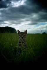 * (Timoleon Vieta II) Tags: leica wild portrait pet storm colour cat kitten meadow rangefinder baku savannah freind bengal individuality timoleon