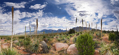 Desert Spoons (BongoInc) Tags: newmexico aguirresprings yucca chihuahuandesert landscape panorama desertsouthwest sotol desertspoons