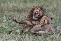 You can't play on your Dad.... (Duncan Blackburn) Tags: 2017 big5 cat kenya masaimara ps lion mammal nikon nature wildlife