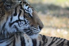 Fierce (Giulia Gasparoni) Tags: fierce proud macro detail details tiger tigers feline felines animal animals wild wildanimals wildanimal africa african beautiful amazing wonderful nature stripes big cat cats