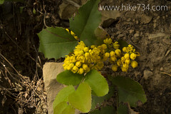 "Oregon Grape Blossoms • <a style=""font-size:0.8em;"" href=""http://www.flickr.com/photos/63501323@N07/14199490718/"" target=""_blank"">View on Flickr</a>"