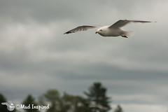 Lake Dalrymple Gull