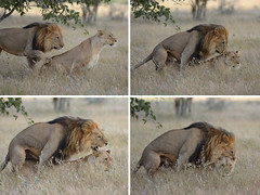 I Can't get no Satisfaction (Pete Foley) Tags: africa lunch picnic safari namibia etosha matinglions beautiesbeasts