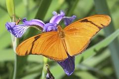 Julia (Read2me) Tags: butterfly insect wings orange dof bokeh iris flower green pregamewinner thechallengefactory gamewinner gamex2winner x2 challengeclubwinner superherowinner friendlychallenges challengeyouwinner storybookotr x3 agcgsweepwinner perpetualchallengewinner agcgsweepchallengewinner 11e