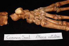 Common Seal Skeleton (JRochester) Tags: skeleton foot seal bone common ankle hind phoca vitulina tarsals osteology
