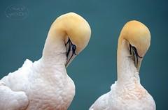 Synchronisation (MaiGoede) Tags: nature birds wildlife natur nordsee vogel gannet helgoland northerngannet basstölpel nordseeküste seevogel islandofhelgoland