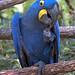 Nashville Zoo 09-01-2010 - Hyacinth Macaw 5