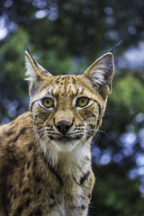 Lynx (Zoo de la Barben)