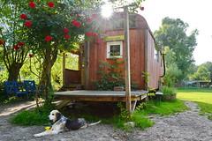 be aware the dog (micagoto) Tags: roses summer dog sun paradise sommer hund lustig rosen freiburg peterlustig bauwagen löwenzahn wohnwagen abenteuerhof wisenwagen