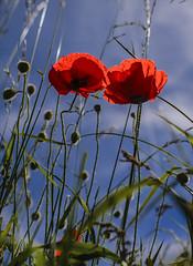 Deux par deux, la main dans la main (BelgiumOnePoint) Tags: red flower nature fleur rouge nikon belgium belgique country poppy campagne coquelicot wallonie d610 lasne d7100