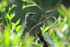 In the Catbird's Seat (Patricia Henschen) Tags: canoncitycolorado graycatbird arkansasriver riverwalk bird birds usroute50