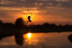 Emsland - Spinne_IMG_8631 (milanpaul) Tags: germany deutschland sonnenuntergang sommer natur spinne juli fluss ems spinnennetz gegenlicht emsland dalum 2014 niedersachsen geeste canoneos60d sigma1835mmf18dc