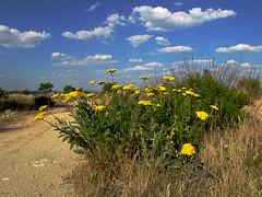 plant flower planta fleur yellow blossoms yarrow lor silvestre amarilla nosebleed milfoil asilvestrada fernleafyarrow aquileaamarilla milenramadorada