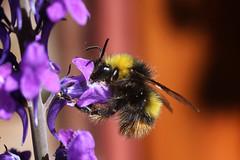 Bee and a flower (Dovydas Slavinskas) Tags: flower macro canon 9 bee volna 100d