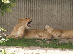 Lions, 3