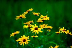 field of gold ~ Huron River and Watershed (j van cise photos) Tags: flower gold blossom michigan bloom wildflower huronriverwatershed afsnikkor70200mmf28gedvrii continentalunitedstates nikond7100 pressltoenlarge