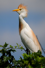 Millers Lake-9602 (MSMcCarthy Photography) Tags: lake bird nikon sigma swamp egret rookery cattleegret southlouisiana louisnana sigma150to500 nikond300s msmccarthyphotography villeplattelouisiana