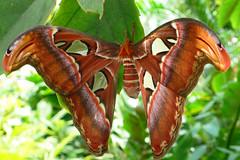 Attacus Atlas (Atlas moth) (TablinumCarlson) Tags: leica 2 india