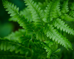 Smooth fern (hickamorehackamore) Tags: summer fern june connecticut ct hebron 2014 airlinetrail