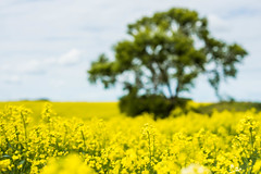 Fields of Yellow (SnapYappy) Tags: