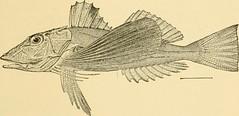 Anglų lietuvių žodynas. Žodis genus prionotus reiškia genties prionotus lietuviškai.