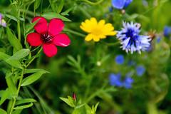 Sommer auf der Wiese (Godwi_) Tags: rot sommer wiese blumen gelb grn blau blten kornblumen sommerwiese wildblumen sommerblumen
