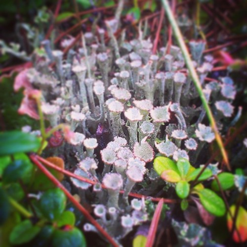 Pixie cup lichen thrives in damp and mossy áreas #yxy #Yukon