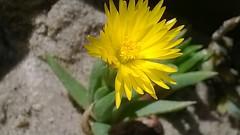 Bergeranthus jamesii