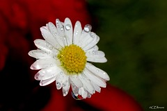 Gnseblmchen  / daisy (4) (Ellenore56) Tags: light sunlight inspiration flower color detail macro reflection floral weather botanical licht perception drops flora view maya magic perspective july drop rainy daisy droplet imagination juli moment makro blte magical farbe reflexion lightshadow raindrop wetter perspektive reflektion tropfen gnseblmchen augenblick florescence gowan botanik regentropfen bellisperennis thundershower trpfchen sonnenlicht lichtschatten pquerette ninn wasserperlen helovesmehelovesmenot waterpearl commondaisy sichtweise raininess lawndaisy pratolina  bltenzauber flowersmagic erliebtmicherliebtmichnicht masliebchen regenblume mondscheinblume augenblmchen morgenblume gewitterschauer ellenore56 belamargarida sonyslta77 chj 10072014