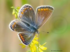 Common Blue Butterfly (Crazybittern1) Tags: butterflies insects commonblue heyshamnaturereserve sigma70300mmmacro lancashirewildlifetrust nikond7000