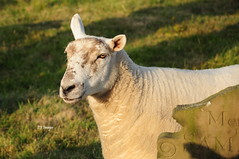 Churchyard Portrait (EJ Images) Tags: uk portrait england slr animal suffolk nikon sheep churchyard dslr eastanglia lowestoft 2014 nikonslr d90 nikondslr pakefield nikond90 sheepportrait 18105mmlens pakefieldchurchyard ejimages dsc0726c