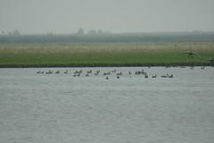 Geese (Ton Smilde) Tags: geese oostvaardersplassen naturereserveinthenetherlands