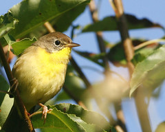 Common Yellowthroat 32 (Geothlypis trichas ) (egdc211) Tags: bird nature aves birdwatcher backyardbirding naturewatcher connecticutbird newenglandbird