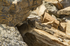 """American Pika • <a style=""""font-size:0.8em;"""" href=""""http://www.flickr.com/photos/63501323@N07/14719437098/"""" target=""""_blank"""">View on Flickr</a>"""