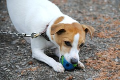 Fight me for it! (Squatbetty) Tags: ball lakedistrict holly cumbria jackrussell playtime coniston jackrussellterrier parsonsjackrussell grotbag holsbols
