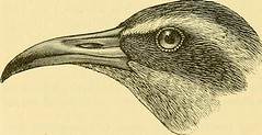 """Image from page 1179 of """"A dictionary of birds"""" (1893)"""