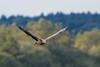 White-tailed eagle (Jean-Phi.) Tags: pygargueàqueueblanche grandaigledemer aiglebarbu huardorfraie haliètealbicille haliaeetusalbicilla rapace aves accipitriformes accipitridae haliaeetus whitetailedeagle