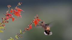 Hummingbird Sunrise (snooker2009) Tags: flowers bird nature hummingbird wildlife flight ruby hovering throated