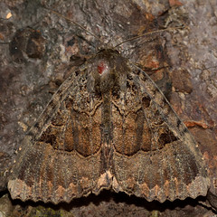 Old lady (Mormo maura) (Ian Redding) Tags: uk fauna insect wildlife moth british invertebrate