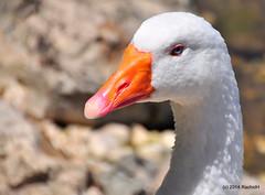 DSC_0303 (rachidH) Tags: sea lake birds geese mediterranean hellas ducks goose greece waterfowl kefalonia canard oiseaux muscovy oie karavomylos rachidh melissany