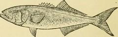 Anglų lietuvių žodynas. Žodis skipjacks reiškia <li>skipjacks</li> lietuviškai.
