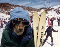 Ski Bunny (aussiegall) Tags: dog snow ski mountains bunny lift resort skis skier thredbo