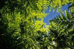 """""""Things are looking up ... """" (Canadapt) Tags: shadow up pattern wideangle below ferns keefer canadapt"""