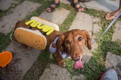Daschund gathering (Taipei street life) Tags: dog pet daschund