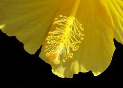 Yellow Hibiscus (Puzzler4879) Tags: flowers macro powershot hibiscus pointandshoot yellowflowers onblack macroflowers yellowhibiscus flowercloseups canonphotography canonpointandshoot flowersonblack a580 canona580 canonpowershota580 powershota580